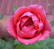 a rose is a rose is a rose . . . by binuinyou