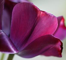The Purple Tulip by walstraasart
