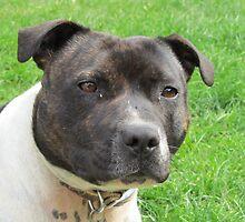 Headshot of a Staffordshire Bull Terrier by RachelH
