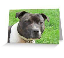 Headshot of a Staffordshire Bull Terrier Greeting Card