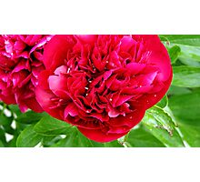 Peony after Rain Photographic Print