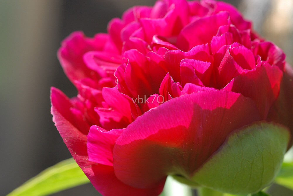 First Peony of 2011 by vbk70