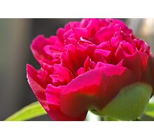 First Peony of 2011 Photographic Print