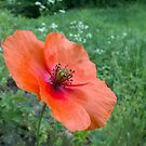 Coquelicot Rouge... pour Maman! by A.M. Ruttle