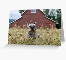 Miniature Schnauzer in Front of Old Red Barn Greeting Card