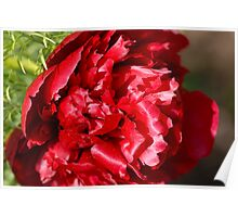 Second Peony of 2011 Poster
