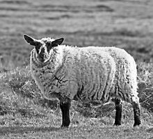 Black and white sheep by Esther  Moliné