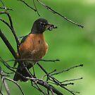 American robin Turdus migratorius by Matsumoto