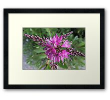 """Symmetry of Pink Flowers - Hebe """"Great Orme"""" Framed Print"""