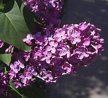 Lilac by MONIGABI