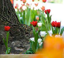 Albany in Springtime by danielmarcus