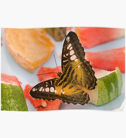 Brown clipper butterfly eating breakfast Poster
