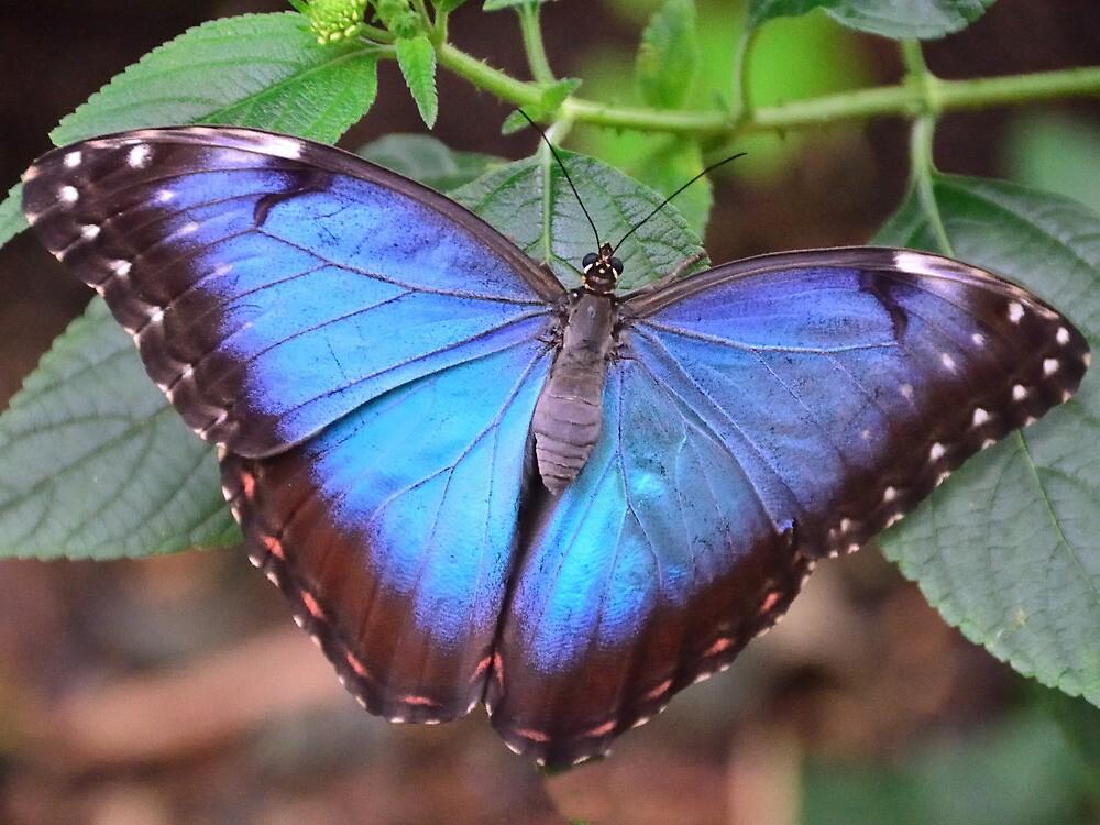 Blue Morpho Butterfly by Stephen Frost
