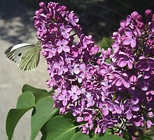 Lilac and butterfly by MONIGABI