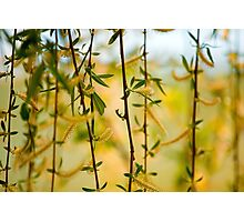 Willow branches with flowers Photographic Print