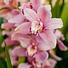 Pink orchidaceae by Dfilyagin