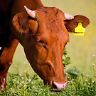 Cow eating grass by Dfilyagin