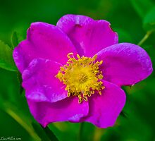 Wild Rose At Dawn by Lee Hiller