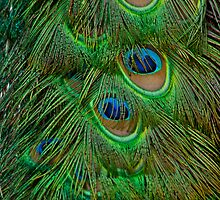 Peacock Feathers by JMChown
