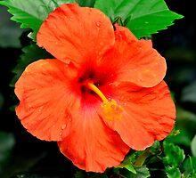 orange flower by Steve
