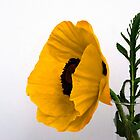 Yellow poppy against white  by Rob Hawkins