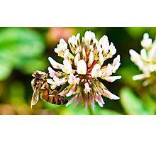 macro bee at work Photographic Print