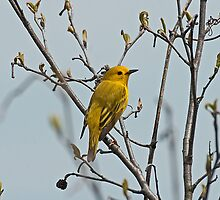 Yellow Warbler (Dendroica petechia) by Mike Oxley