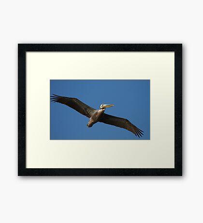 Brown Pelican In Flight Framed Print