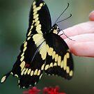 Swallowtail by loiteke