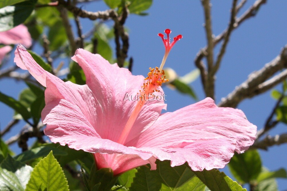 Candy Pink Hibiscus by AuntDot