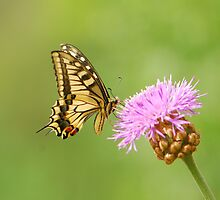 swallowtail and thistle by davvi