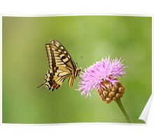 swallowtail and thistle Poster