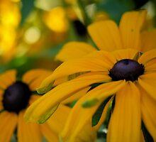 Black Eyed Susan Flowers by Rae Tucker
