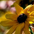 Black-Eyed Susan by Rae Tucker