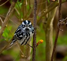 Black and White Warbler by John Absher