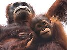 Mother & baby Orangutan, Borneo  by Carole-Anne