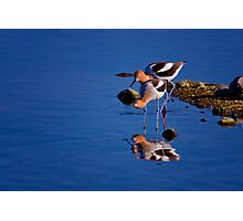 American Avocets - On The Hunt Photographic Print