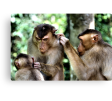 Mutual Grooming. Short-tailed Macaques, Borneo  Canvas Print