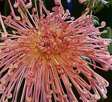 Tickled Pink Chrysanthemum by DEB CAMERON
