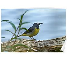 Grey Wagtail Poster
