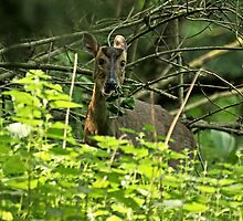 Muntjac - Caught in the Act by Mark Hughes