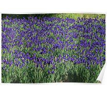 A field of Blue Iris Poster