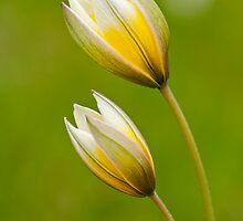 Tulipa Tarda by Marilyn Cornwell