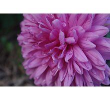 Dampened petals Photographic Print