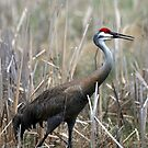 Sandhill Crane Surprise by Renee Blake