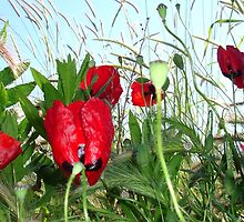 Landscape Close Up Poppies Against Morning Sky by taiche