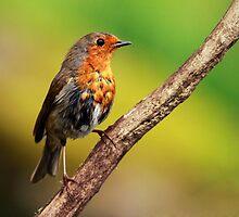 Robin by Grant Glendinning