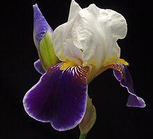 Iris by jimmylu
