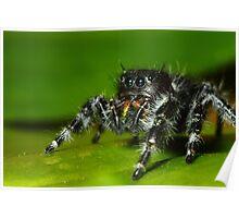 daring jumping spider (phidippus audax) Poster