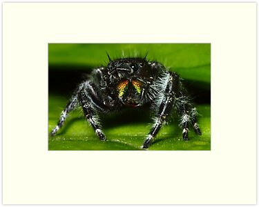 daring jumping spider (phidippus audax) by FLLETCHER